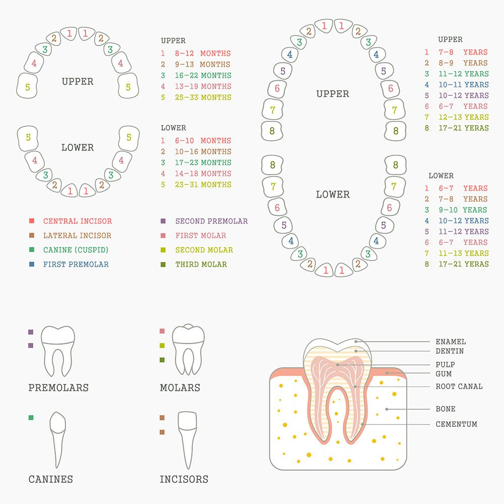 Tooth Eruption Chart | Dumfries Dentist Potomac Pediatric Dentistry